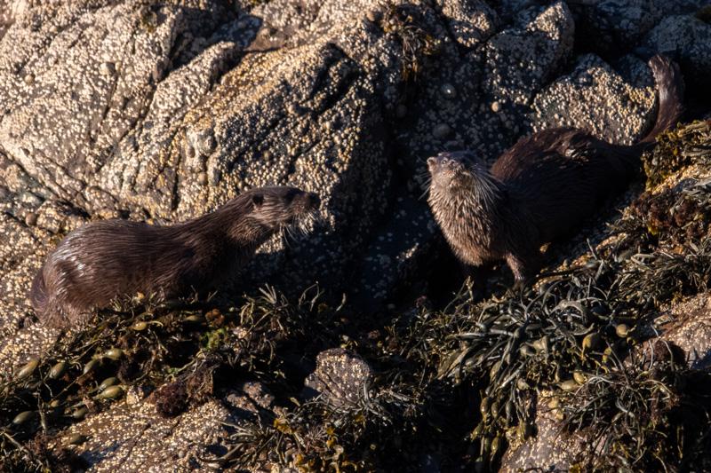 Otter cubs