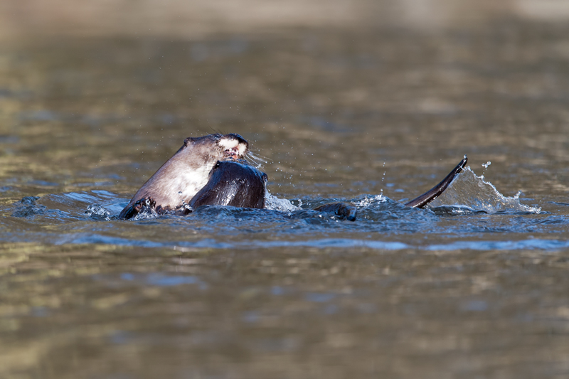 Young Otters playing