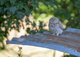 Owlet on a hot tin roof