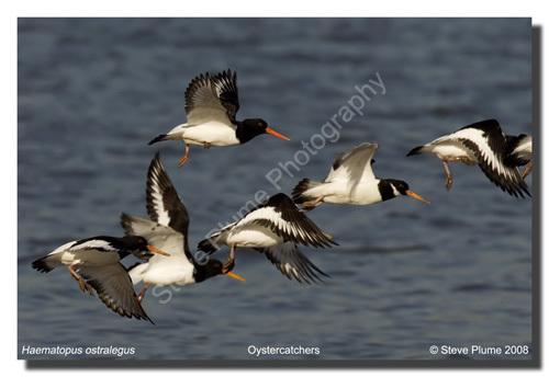 Oystercatcher flyby