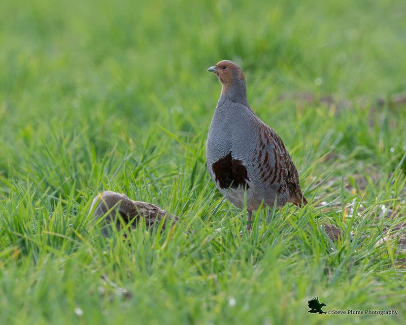 Pair of Grey Partridge