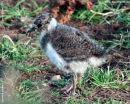 Peewit chick, aka Lapwing
