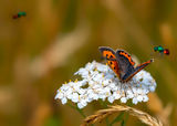 Small Copper and Ruby-tailed Wasps