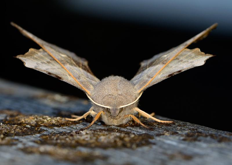 Poplar-hawk moth