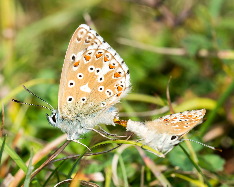 Mating Adonis Blue