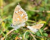 Mating Adonis Blue