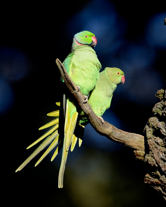Pair of Ring-necked Parakeets