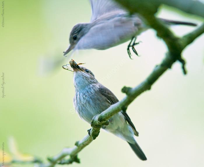 Pr of Spotted Flycatchers