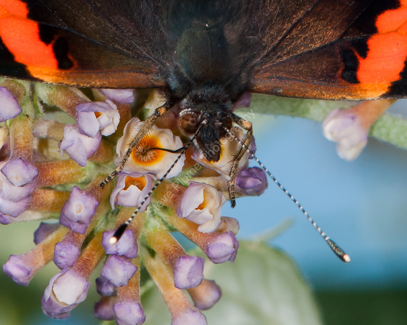 Red Admiral nectaring