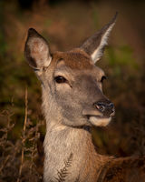 Red Deer hind