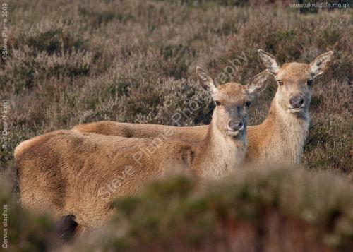 Red Deer (Hinds)