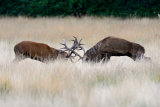 "Red Deer ""Rutting"""