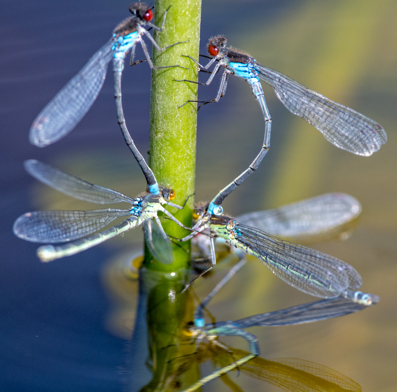 Red-eye Damselflies ovipositing
