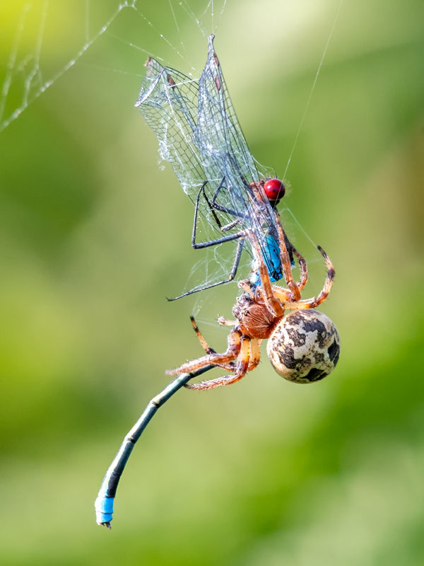 Red-eyed Damselfly with Funnel Orb Weaver