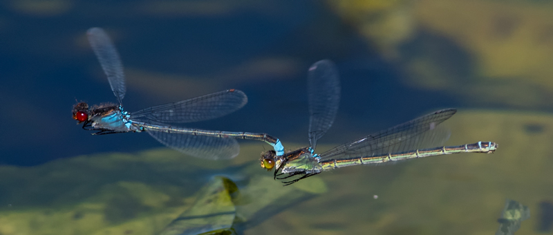 Red-eye Damselflies