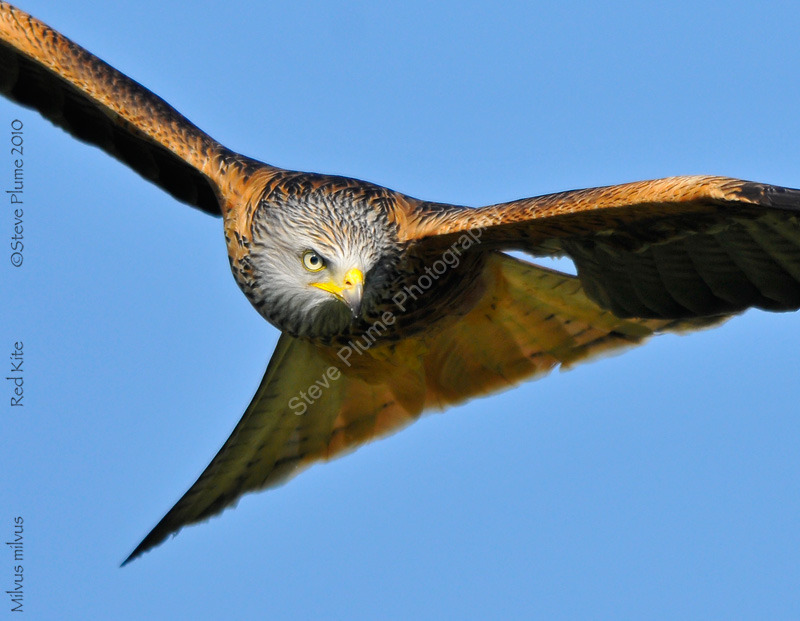 Looking for his next meal, Red Kite