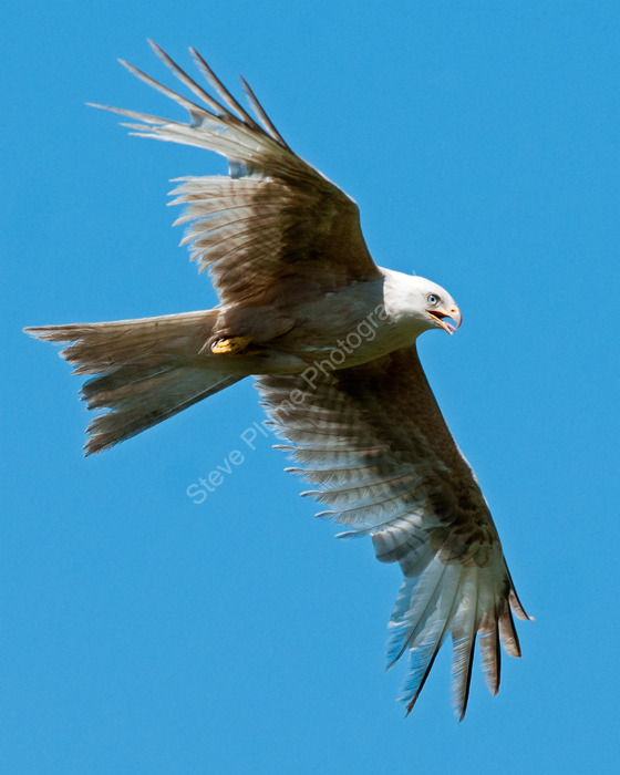 Red Kite leucistic