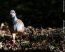 Red Legged Partridge