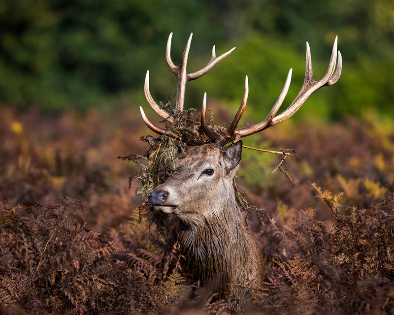Red Deer Stag and head dress