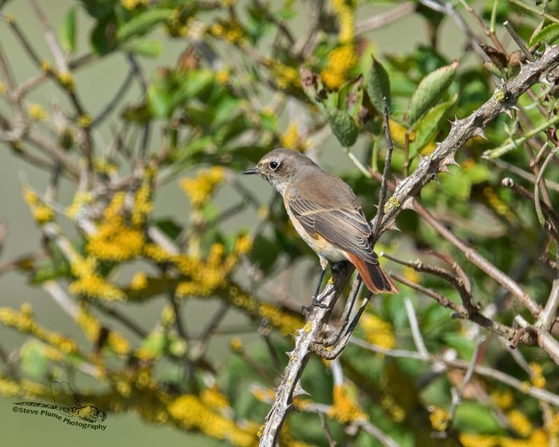 Redstart - male