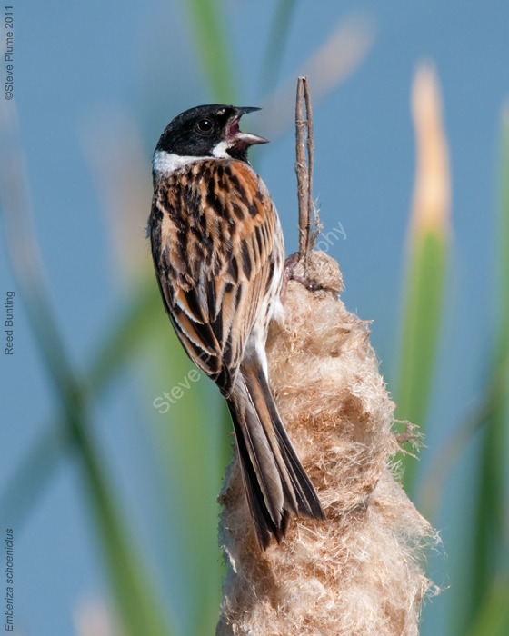 Male Reed Bunting