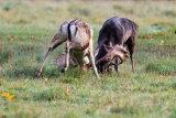 Rutting Bucks