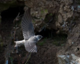 Sand Martin fly-by