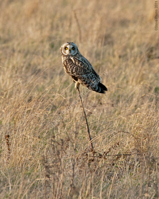 Perched Short-eared Owl