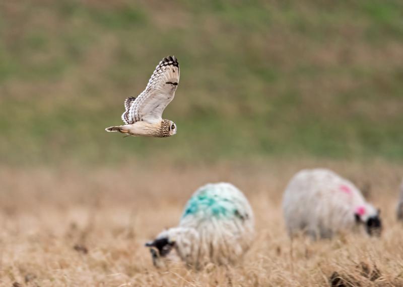 Short-eared Owlo