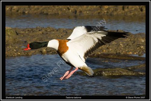 Shelduck landing
