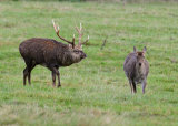 Sika Stag and Hind