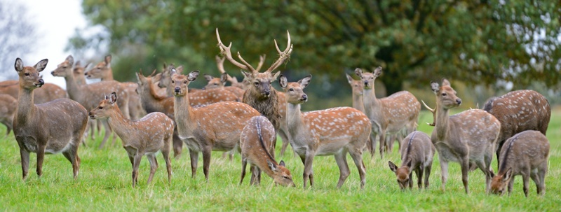 Sika Stag and his ladies