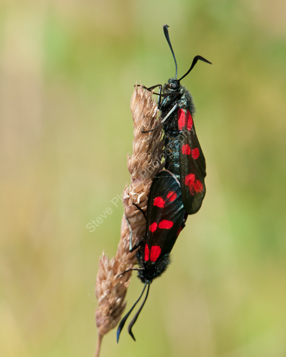 Six-Spot Burnet moth mating