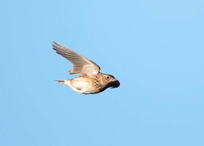 Skylark on the wing