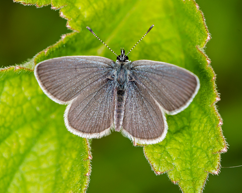 Small Blue - male