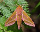 Small Elephant Hawk Moth