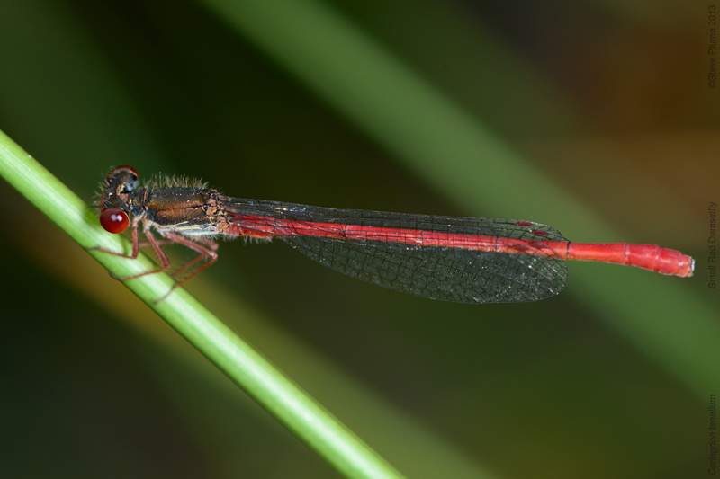 Small Red Damselfly