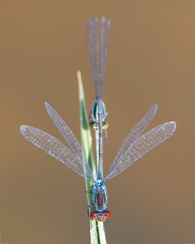 Small Red-eyed Damselflies - mating
