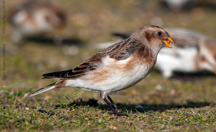 Snow Bunting female