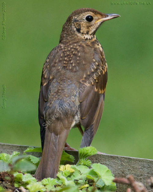 Juvenile Song Thrush
