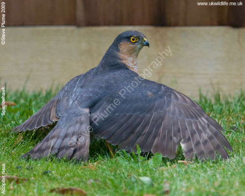Sparrowhawk & starling