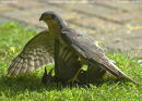 Sparrowhawk & Juv Starling