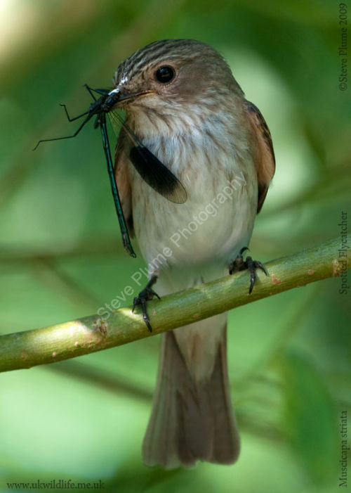 Spotted Flycatcher & Banded Demioselle