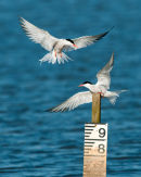 Squabbling Terns
