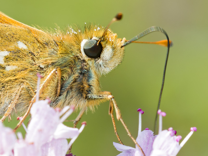 Silver-spotted Skipper
