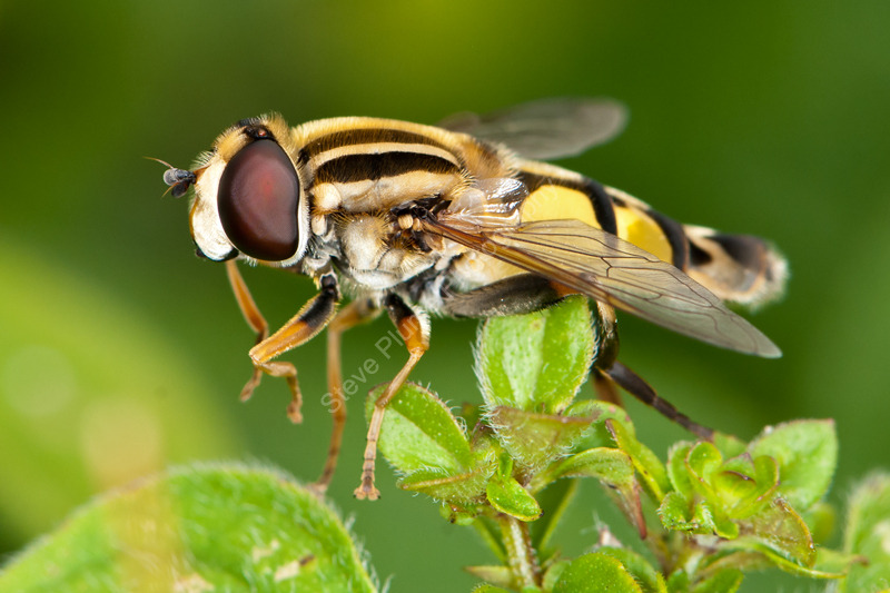 Stipped Hoverfly