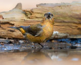 Sub-adult or aberration male Crossbill