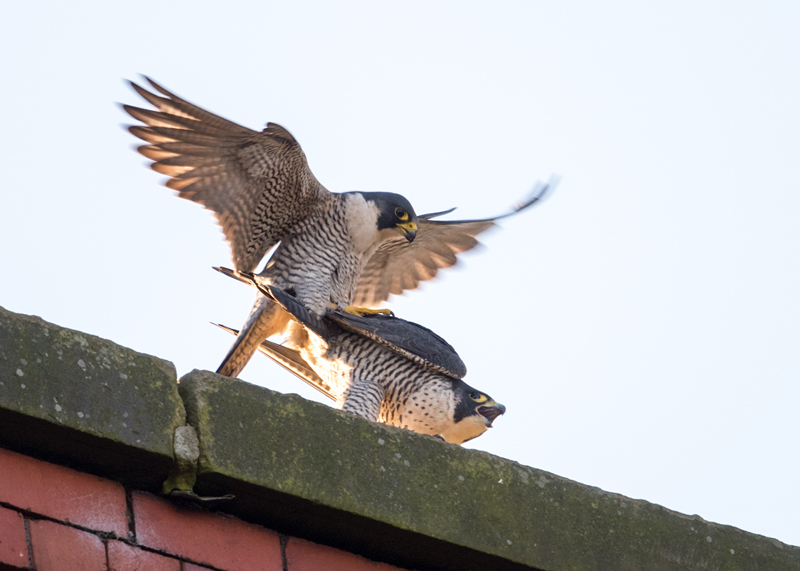 Peregrine mating