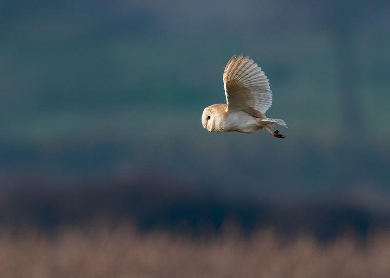 Sunrise Barn Owl