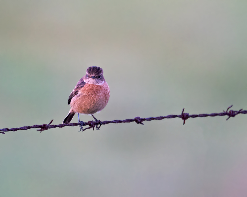 Stonechat at sunset
